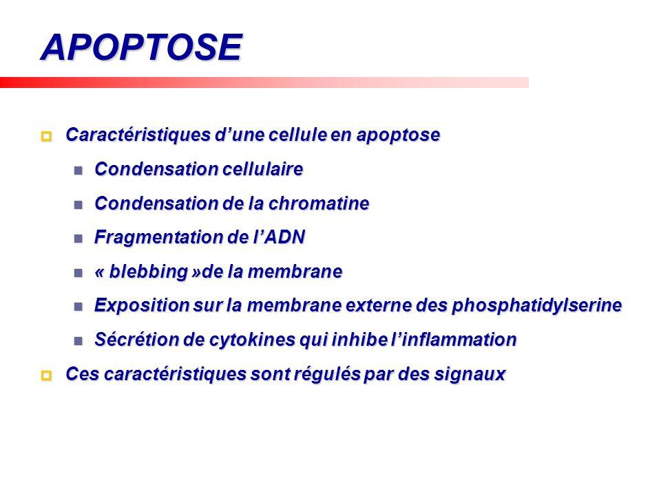 APOPTOSE Caractéristiques d'une cellule en apoptose