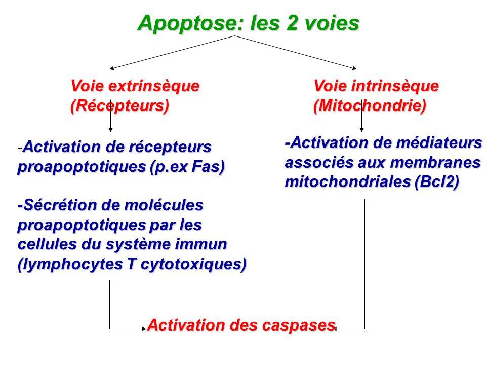 Apoptose: les 2 voies Voie extrinsèque Voie intrinsèque