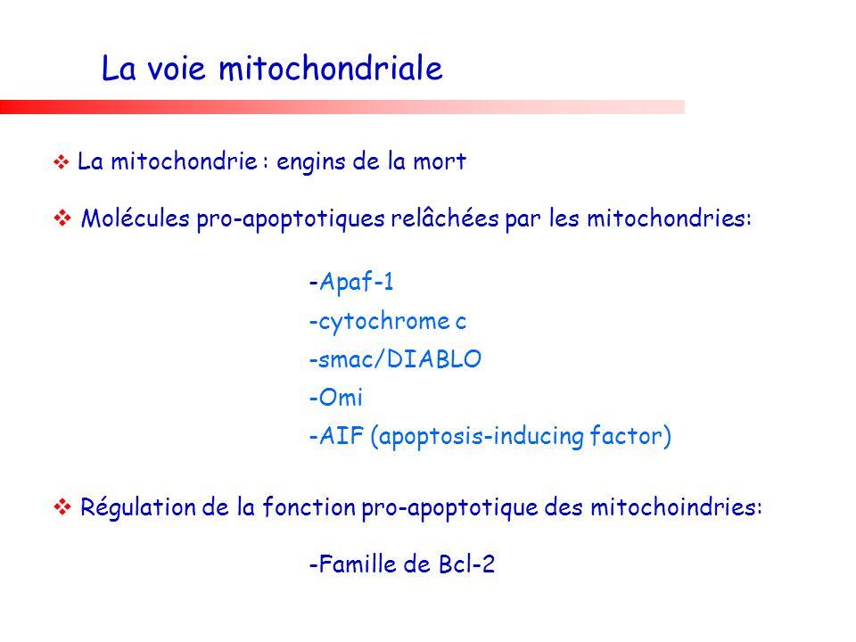 La voie mitochondriale