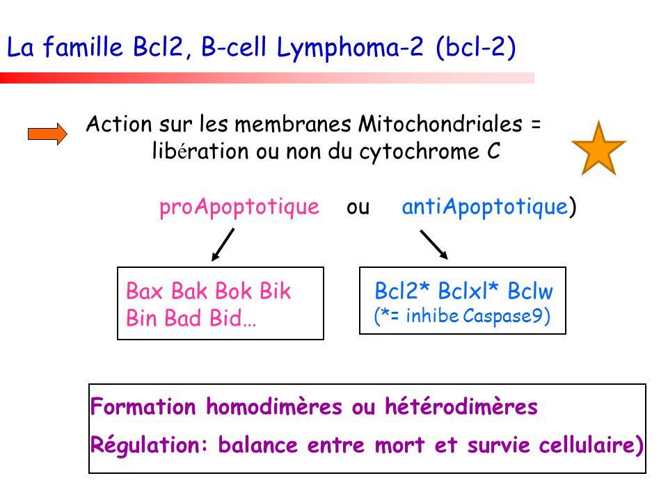 La famille Bcl2, B-cell Lymphoma-2 (bcl-2)