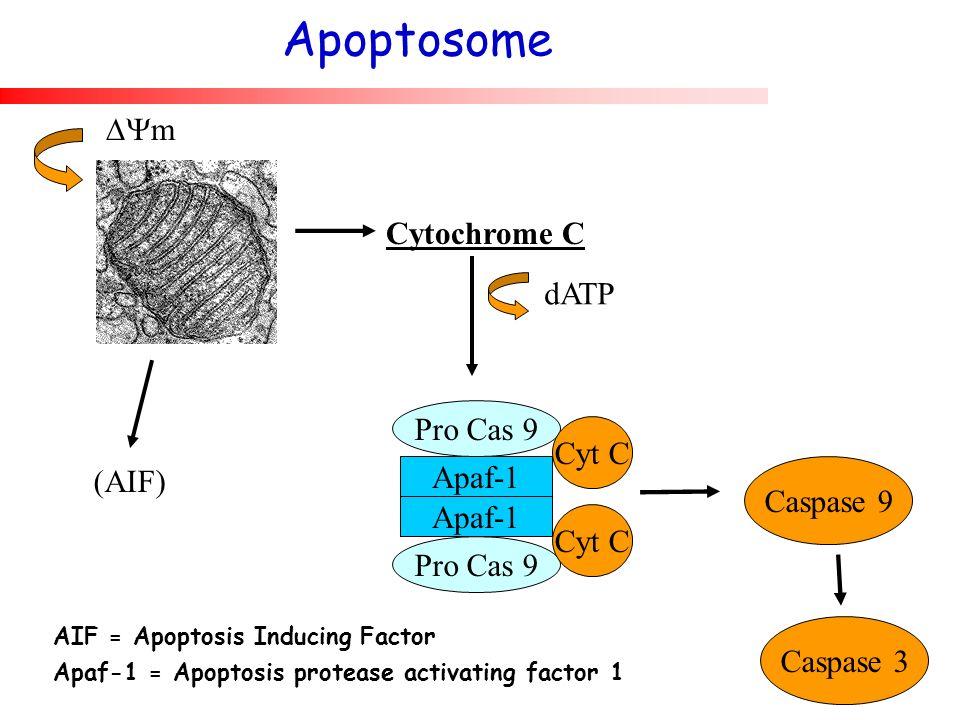 Apoptosome m Cytochrome C dATP Pro Cas 9 Cyt C (AIF) Apaf-1