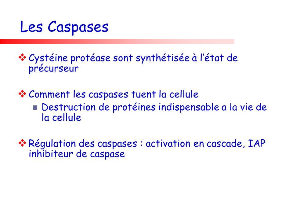 Les Caspases Cystéine protéase sont synthétisée à l'état de précurseur