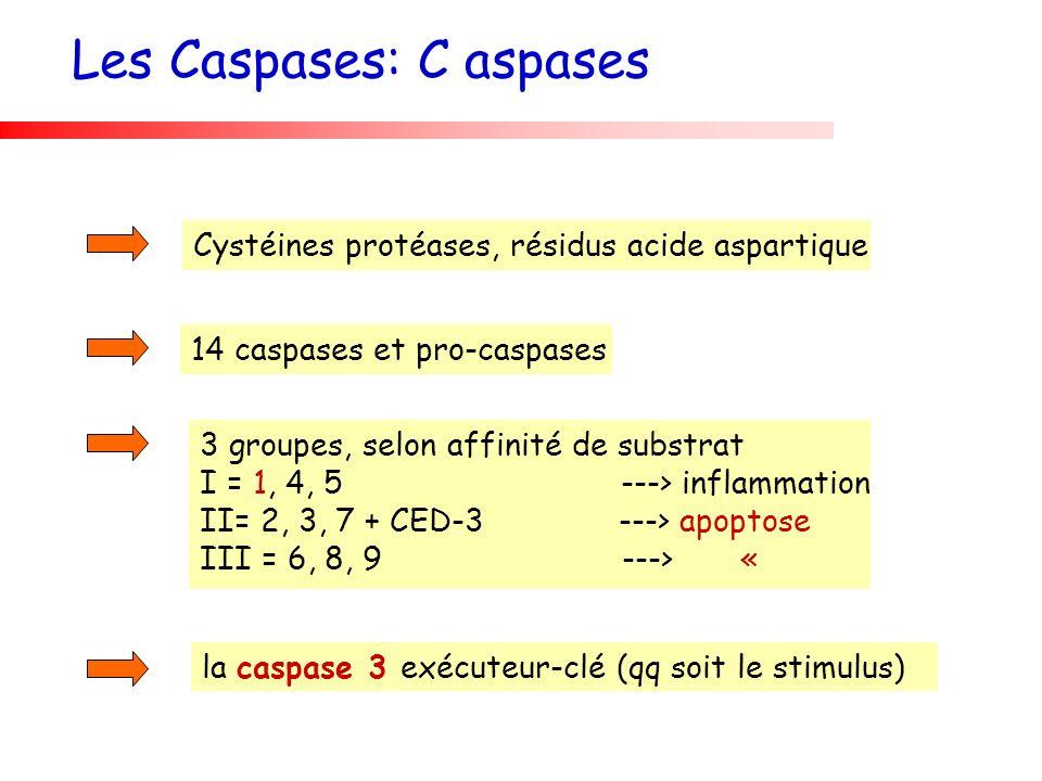 Les Caspases: C aspases
