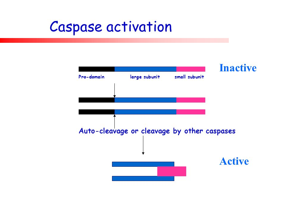 Caspase activation Inactive Active