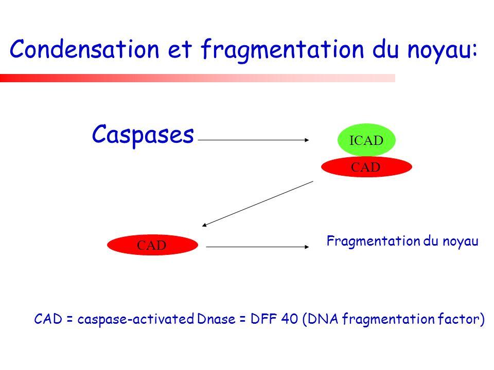 Condensation et fragmentation du noyau: