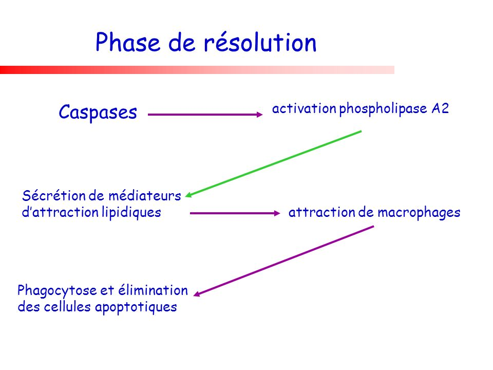 Phase de résolution Caspases activation phospholipase A2