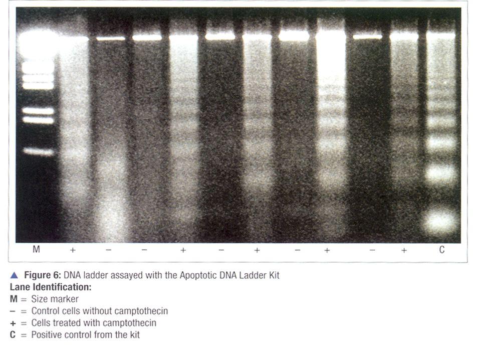 Une fragmentation déterminée de l'ADN