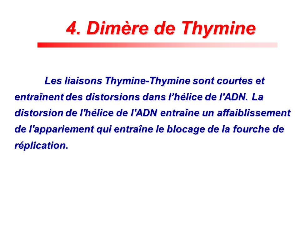 4. Dimère de Thymine