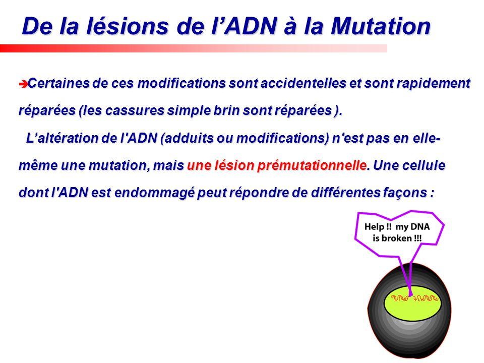 De la lésions de l'ADN à la Mutation