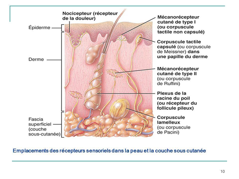 Emplacements des récepteurs sensoriels dans la peau et la couche sous cutanée
