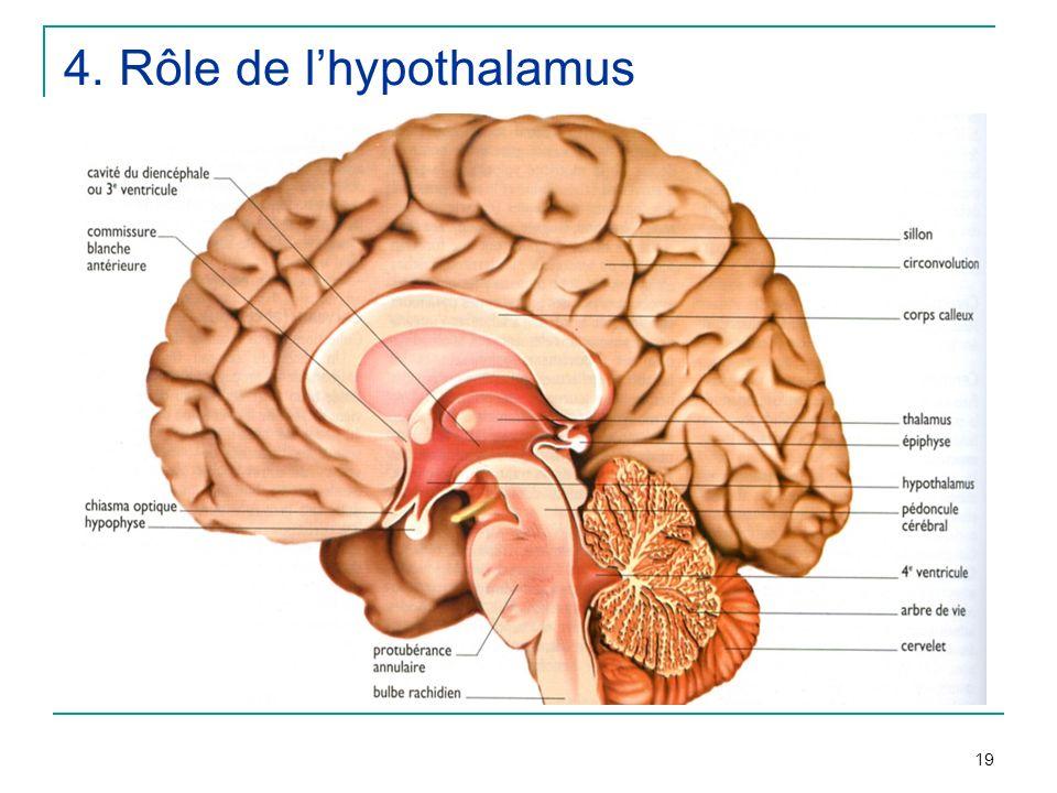 4. Rôle de l'hypothalamus