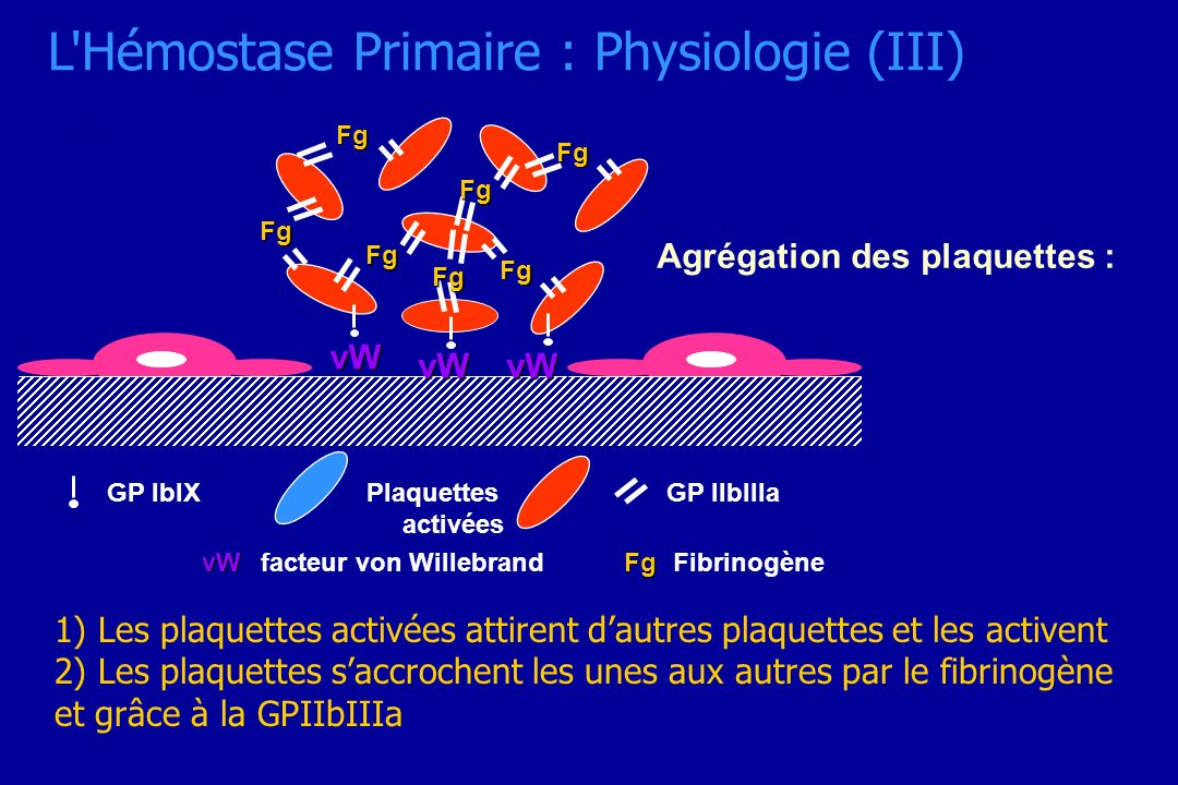 L Hémostase Primaire : Physiologie (III)