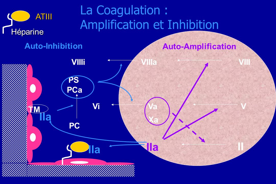 La Coagulation : Amplification et Inhibition