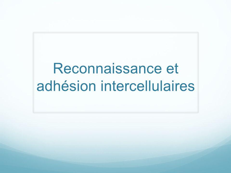 Reconnaissance et adhésion intercellulaires