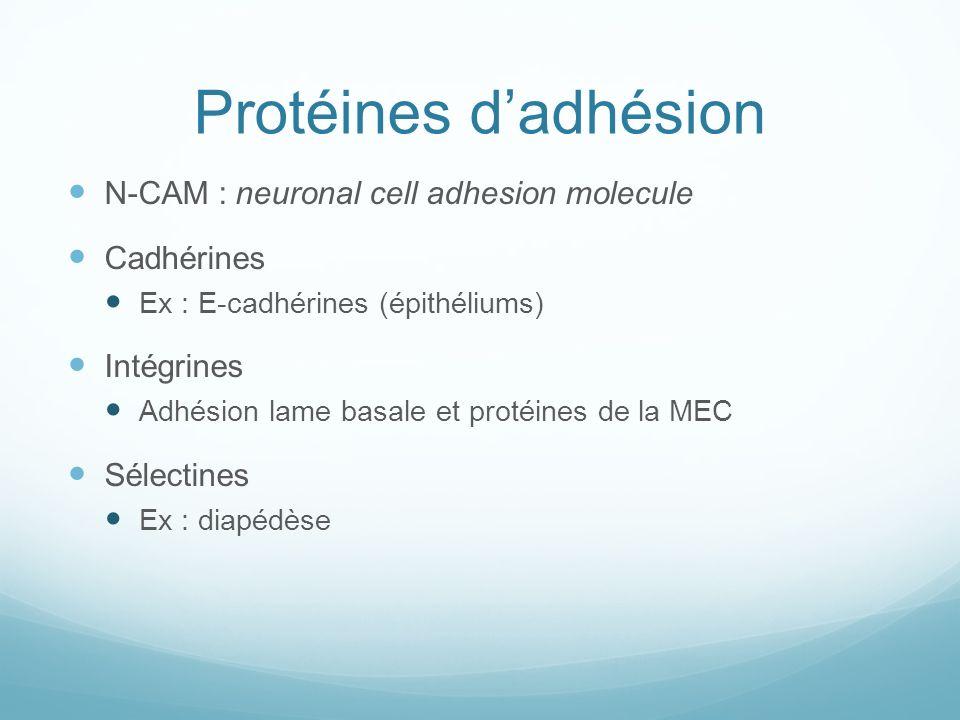 Protéines d'adhésion N-CAM : neuronal cell adhesion molecule