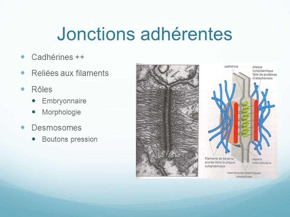 Jonctions adhérentes Cadhérines ++ Reliées aux filaments Rôles