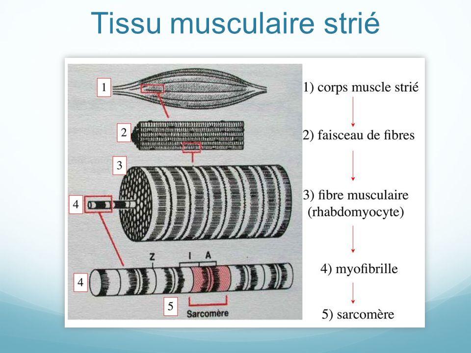 Tissu musculaire strié
