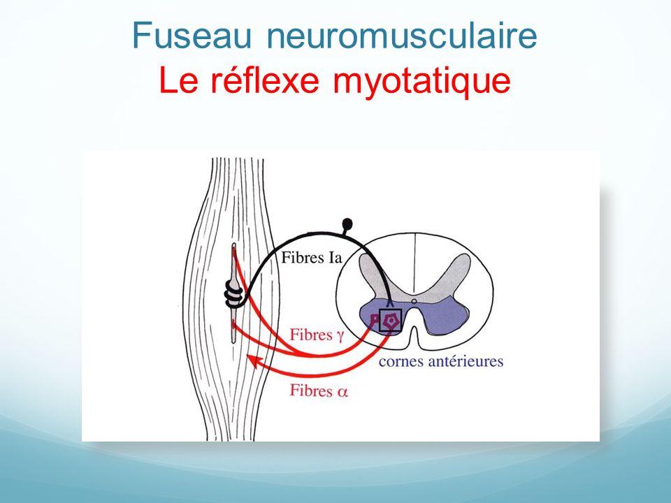 Fuseau neuromusculaire Le réflexe myotatique