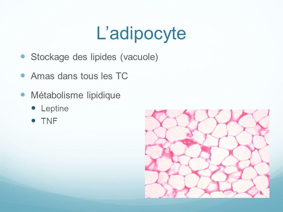 L'adipocyte Stockage des lipides (vacuole) Amas dans tous les TC