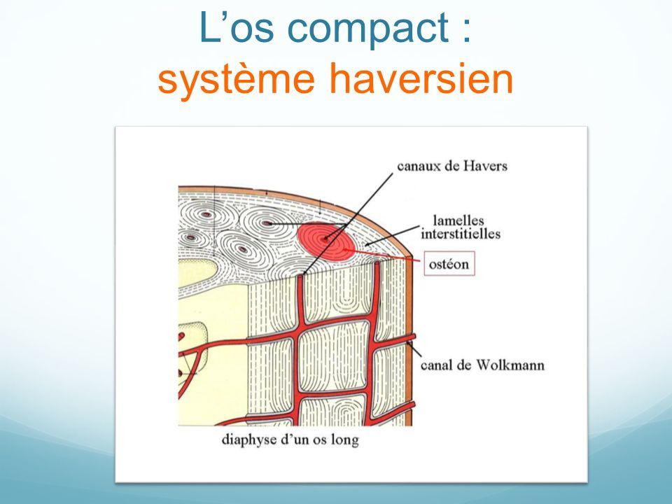 L'os compact : système haversien