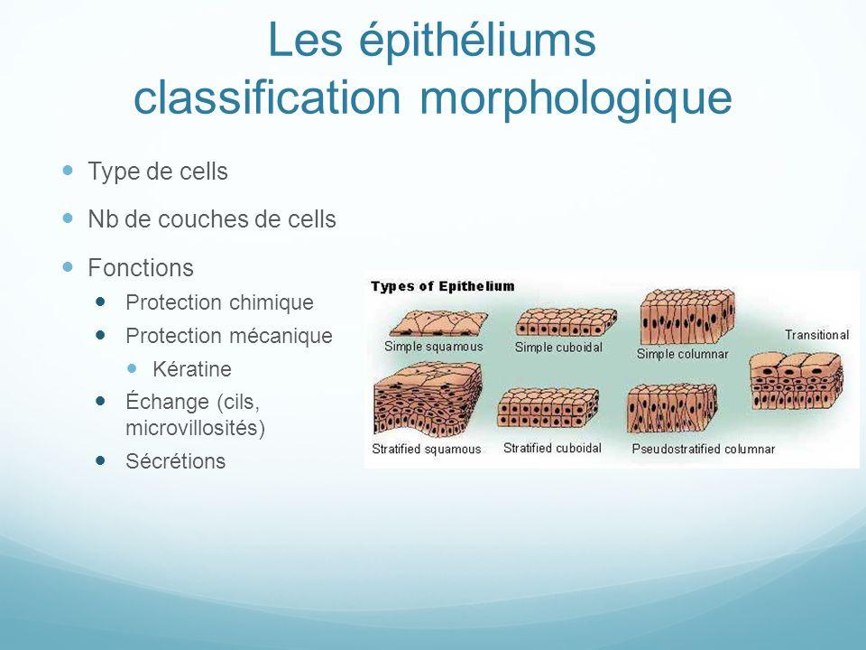 Les épithéliums classification morphologique