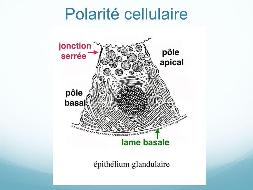 Polarité cellulaire