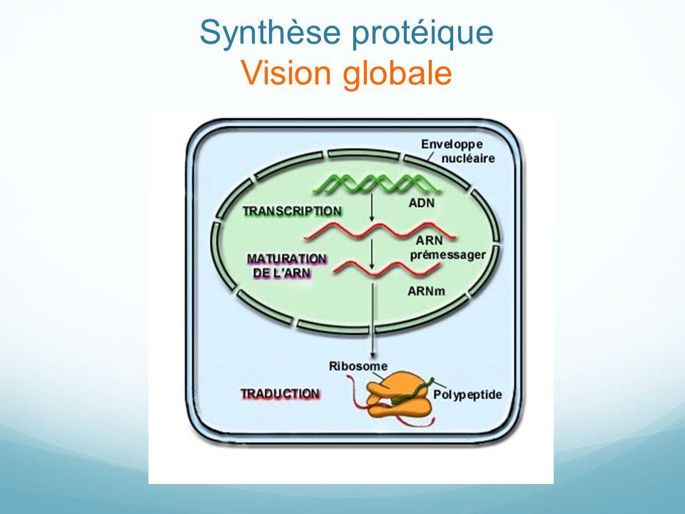 Synthèse protéique Vision globale