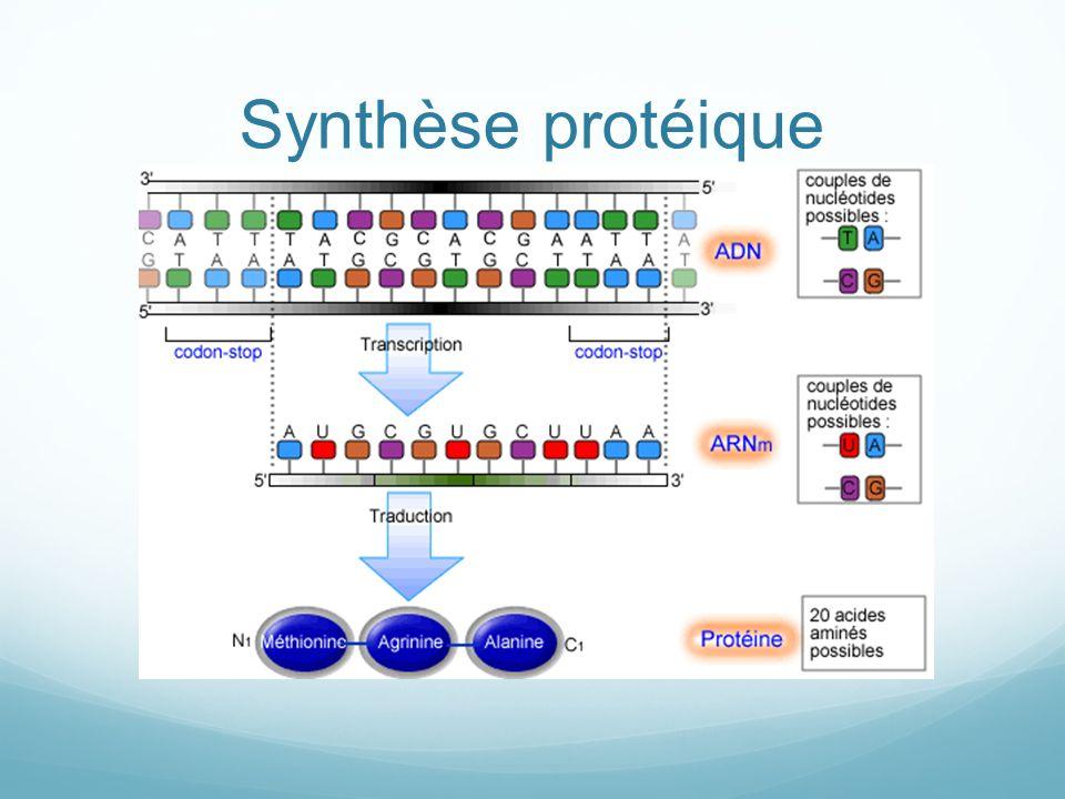 Synthèse protéique
