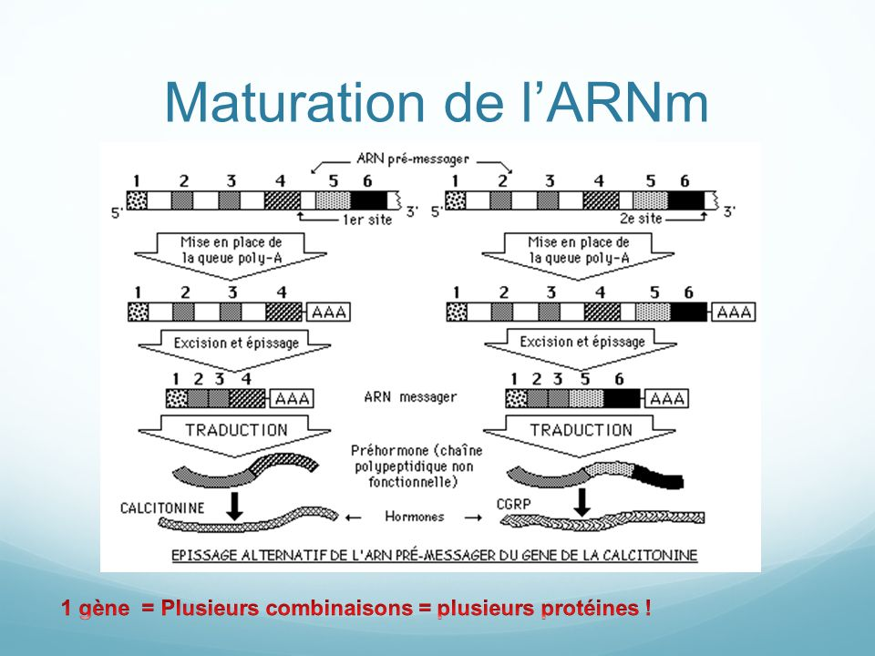 Maturation de l'ARNm 1 gène = Plusieurs combinaisons = plusieurs protéines !