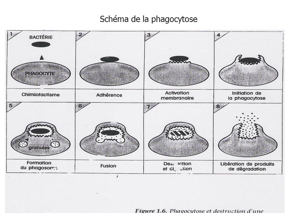 Schéma de la phagocytose