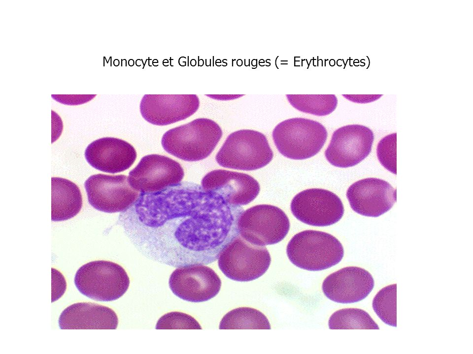 Monocyte et Globules rouges (= Erythrocytes)