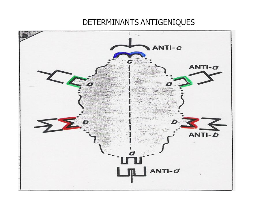 DETERMINANTS ANTIGENIQUES