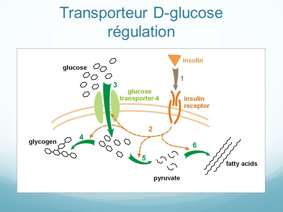 Transporteur D-glucose régulation