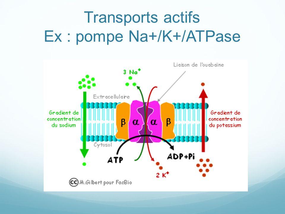 Transports actifs Ex : pompe Na+/K+/ATPase