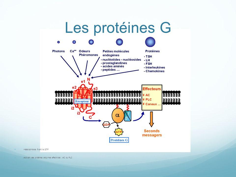 Les protéines G Hétérodimères fixant le GTP