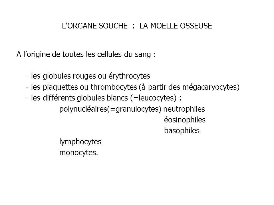 L'ORGANE SOUCHE : LA MOELLE OSSEUSE