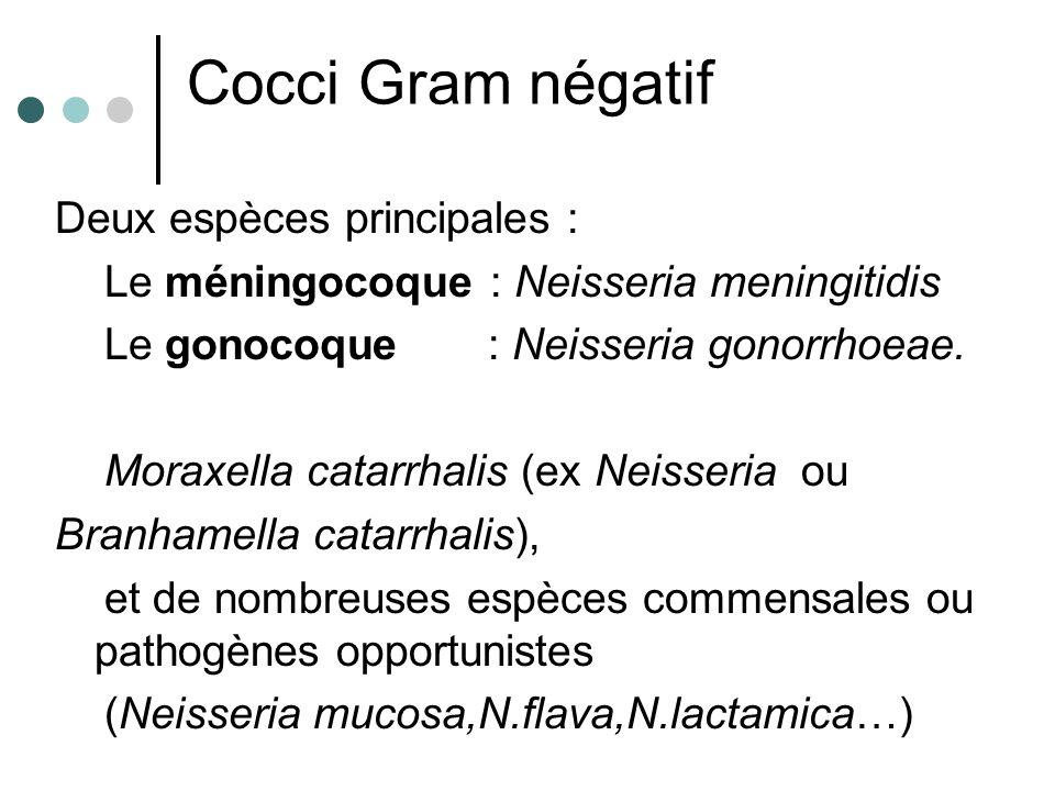Cocci Gram négatif