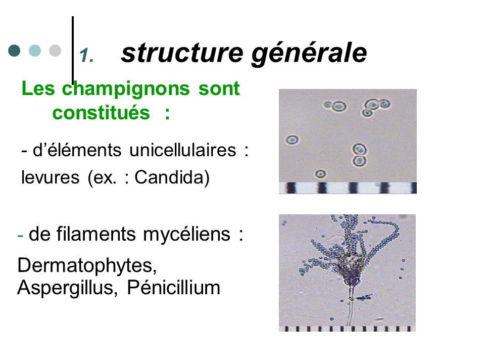 structure générale Les champignons sont constitués :