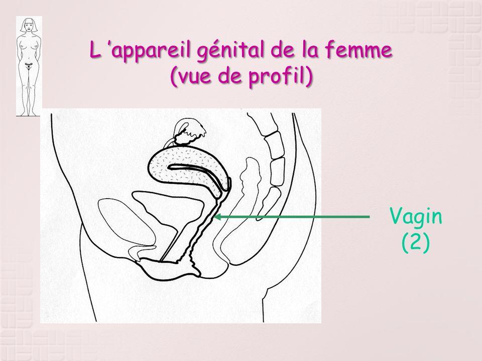 L 'appareil génital de la femme (vue de profil)