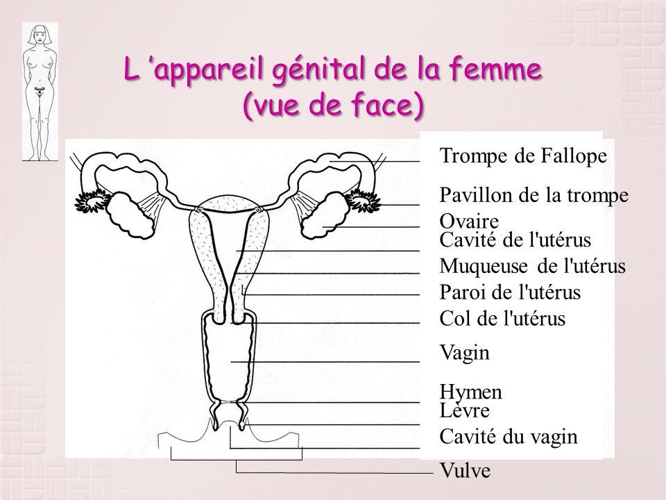 L 'appareil génital de la femme (vue de face)