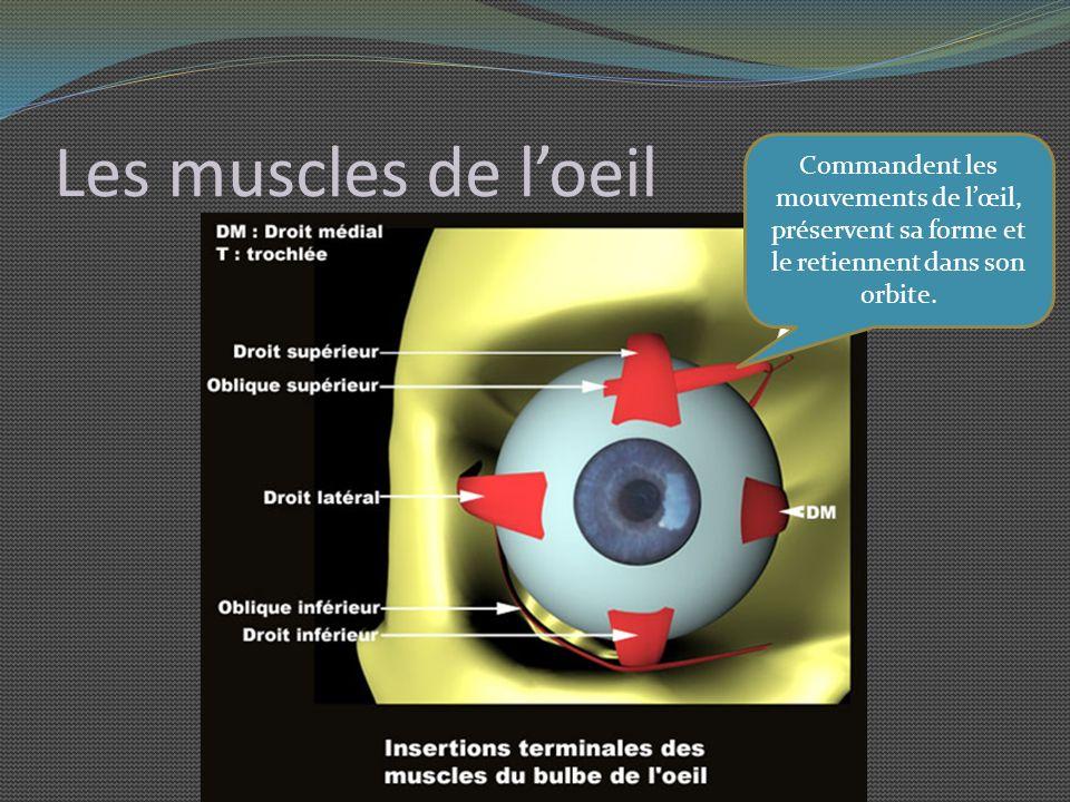 Les muscles de l'oeil Commandent les mouvements de l'œil, préservent sa forme et le retiennent dans son orbite.
