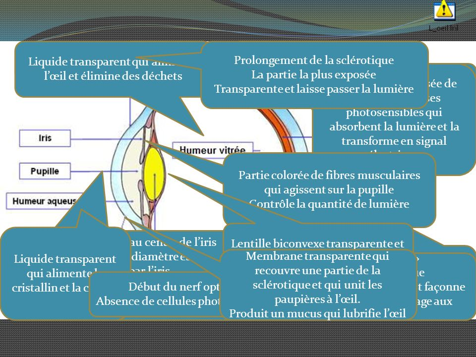 Une coupe de l'oeil Liquide transparent qui alimente l'œil et élimine des déchets. Prolongement de la sclérotique.