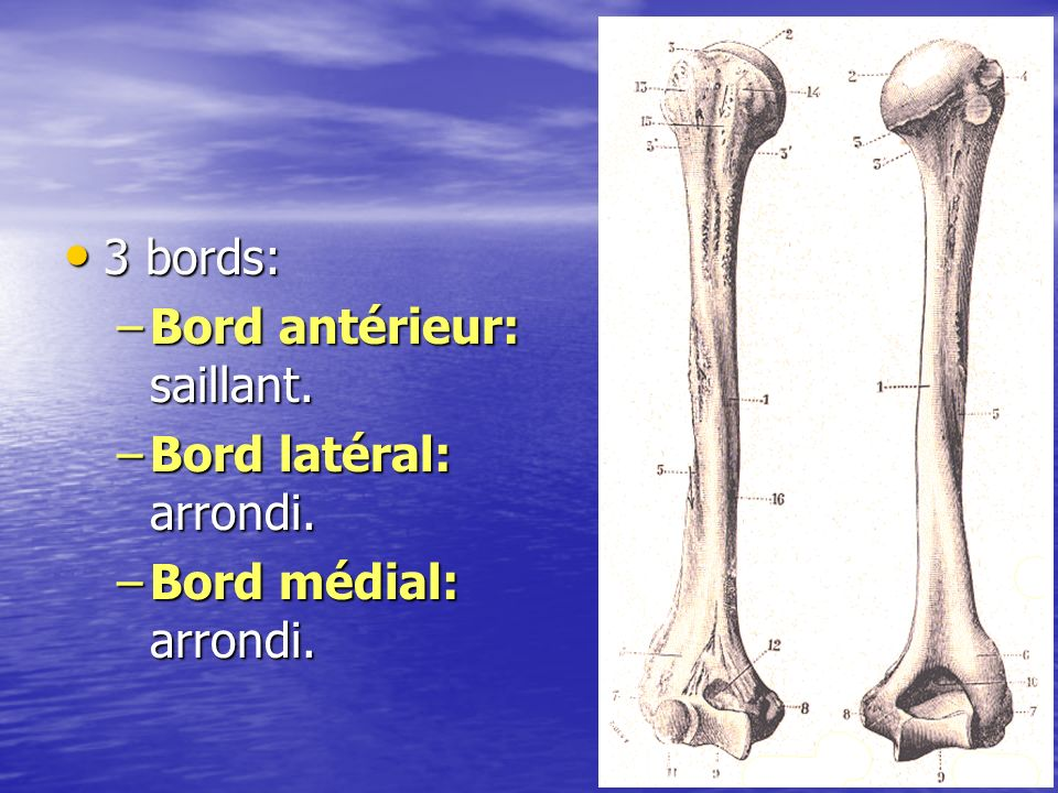 3 bords: Bord antérieur: saillant. Bord latéral: arrondi. Bord médial: arrondi.