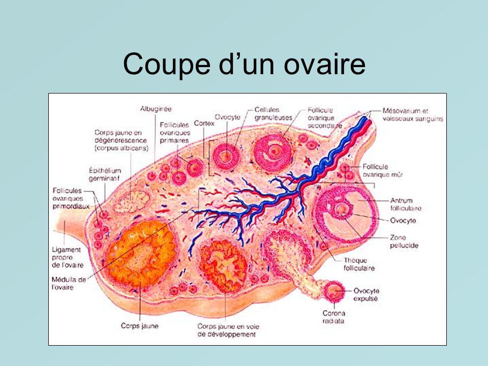 Coupe d'un ovaire