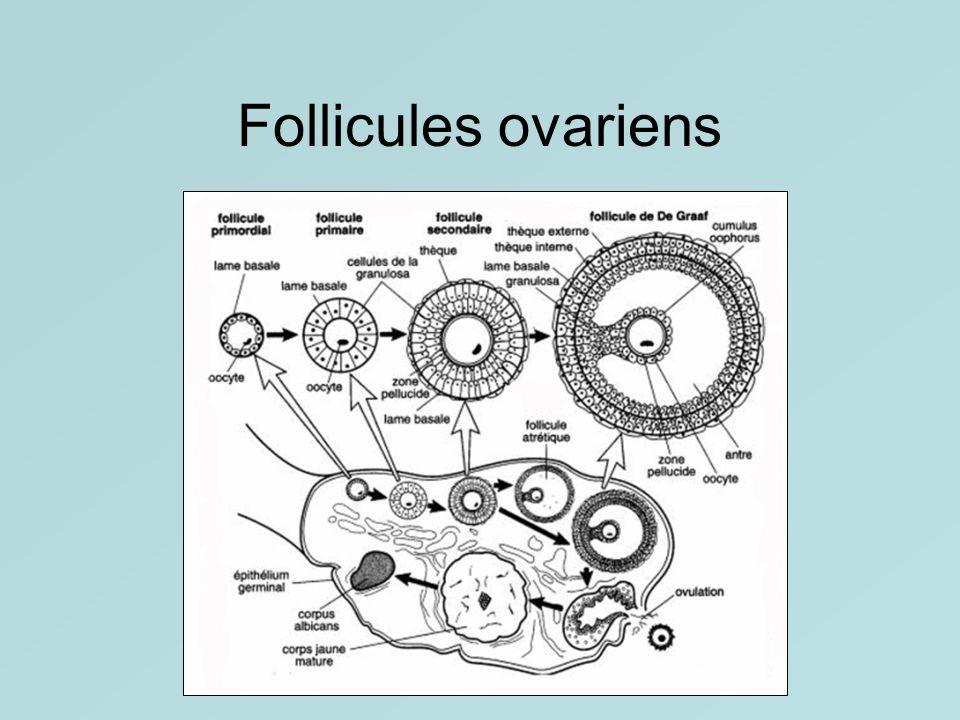 Follicules ovariens