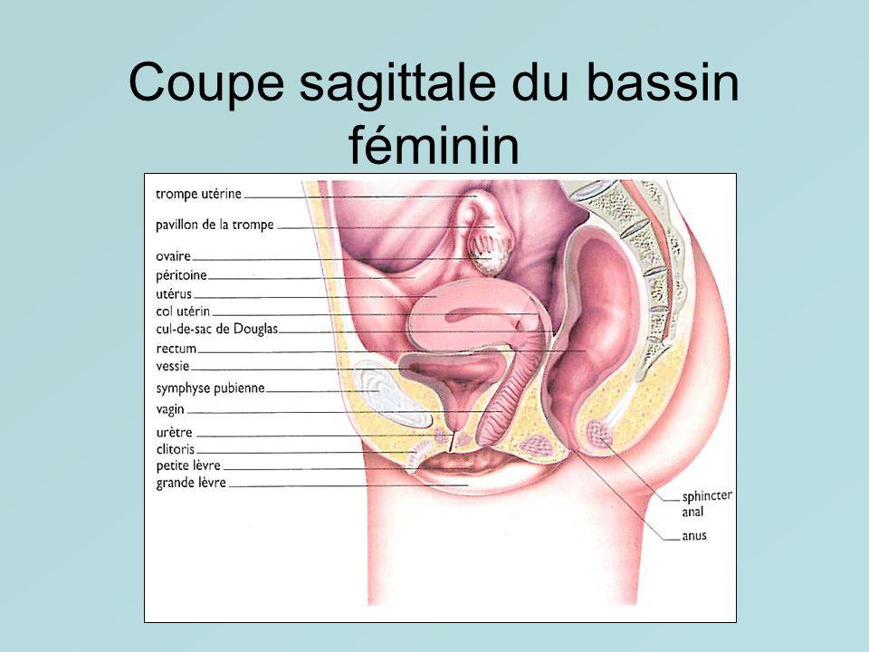 Coupe sagittale du bassin féminin