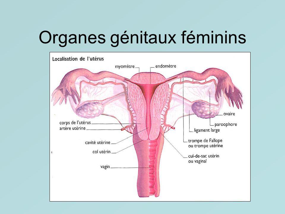 Organes génitaux féminins