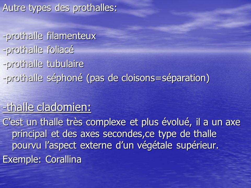 -thalle cladomien: Autre types des prothalles: -prothalle filamenteux
