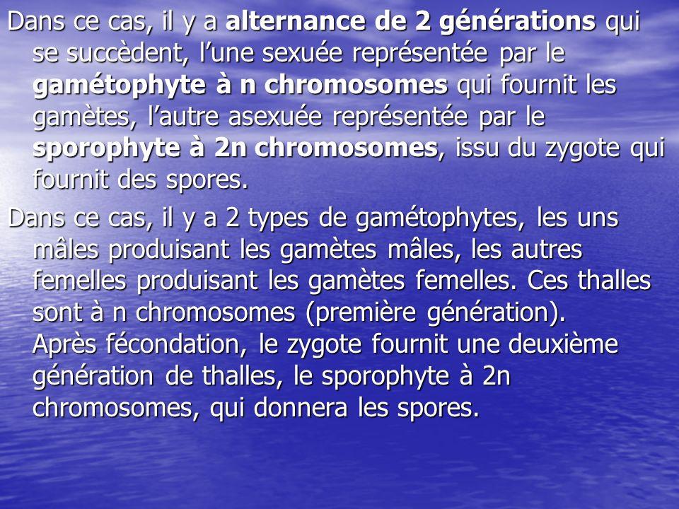 Dans ce cas, il y a alternance de 2 générations qui se succèdent, l'une sexuée représentée par le gamétophyte à n chromosomes qui fournit les gamètes, l'autre asexuée représentée par le sporophyte à 2n chromosomes, issu du zygote qui fournit des spores.