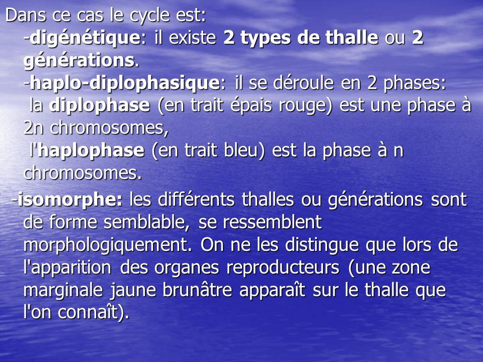 Dans ce cas le cycle est: -digénétique: il existe 2 types de thalle ou 2 générations. -haplo-diplophasique: il se déroule en 2 phases: la diplophase (en trait épais rouge) est une phase à 2n chromosomes, l haplophase (en trait bleu) est la phase à n chromosomes.